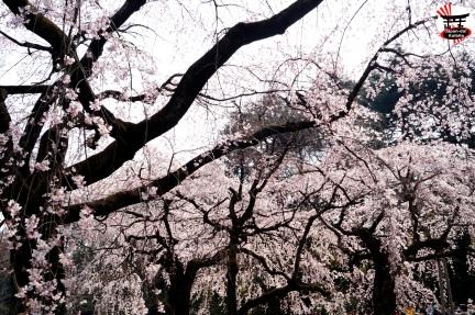 Sakura18