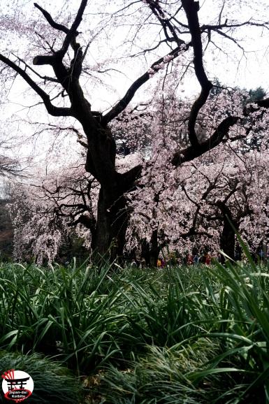 Sakura20