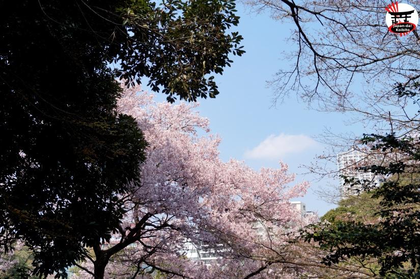 Sakura31
